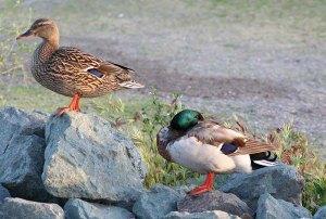 pair of mallard ducks